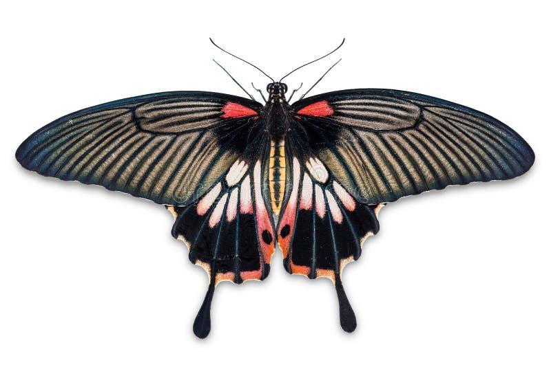 Θηλυκή μεγάλη των Μορμόνων πεταλούδα Papilio memnon στοκ εικόνα
