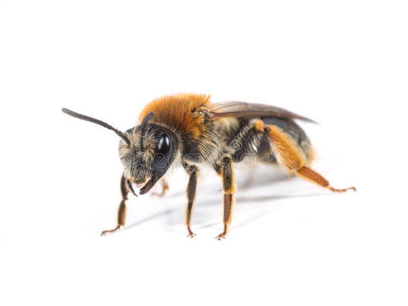 θηλυκή μεταλλεία μελισσών στοκ εικόνες