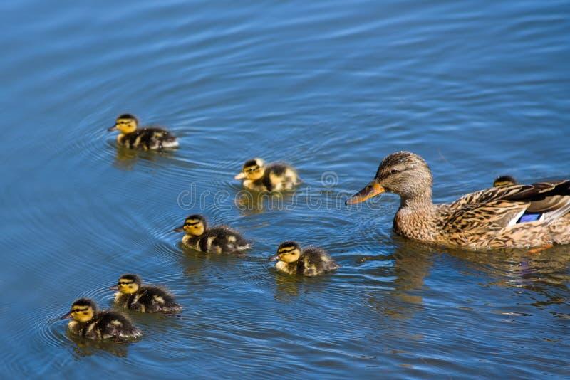 Θηλυκή πάπια πρασινολαιμών με τις πάπιες μωρών που κολυμπούν στη λίμνη στοκ εικόνες