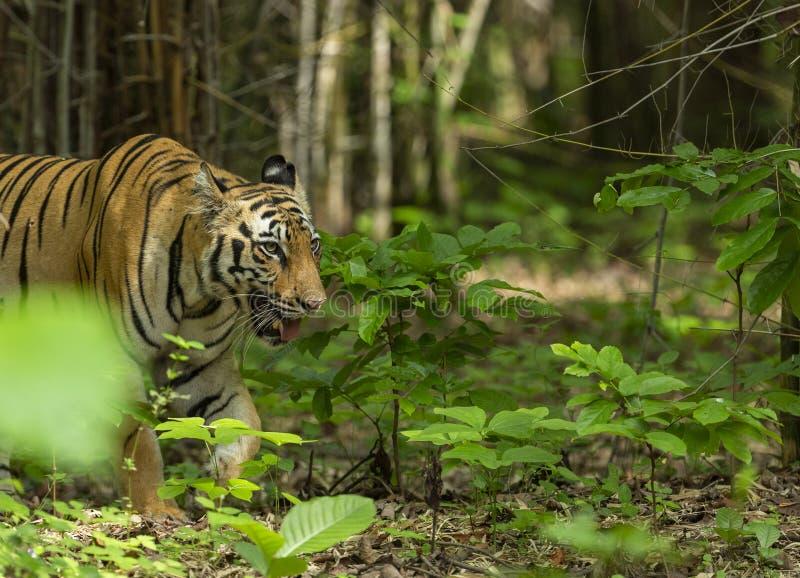 Θηλυκή τίγρη που προκύπτει από το αυλάκι μπαμπού Maharashtra επιφύλαξης τιγ στοκ φωτογραφίες με δικαίωμα ελεύθερης χρήσης