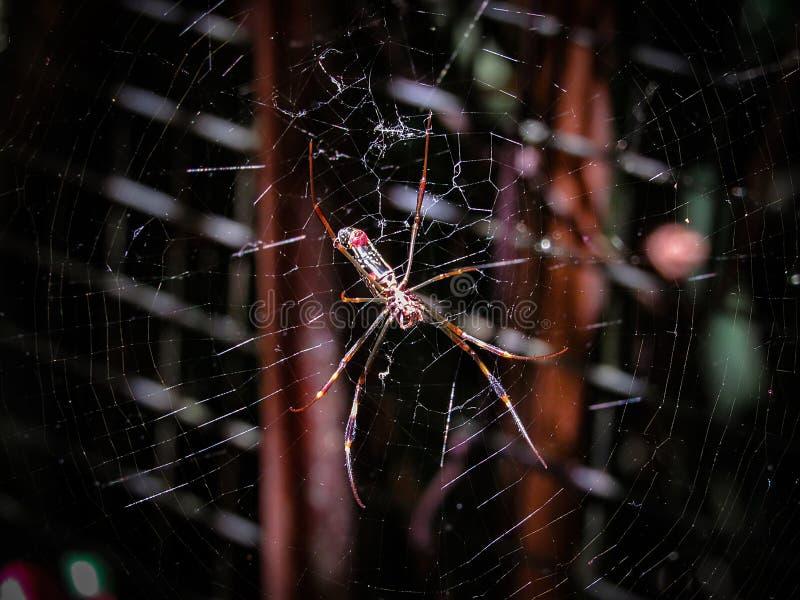 Θηλυκή χρυσή αράχνη Nephila σφαίρα-Ιστού clavipes, επίσης γνωστός ως Β στοκ εικόνες