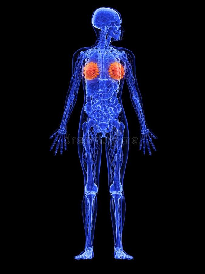 θηλυκοί αδένες ανατομία&s διανυσματική απεικόνιση