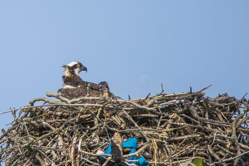 Θηλυκοί Osprey και νεοσσός στη φωλιά στοκ φωτογραφίες