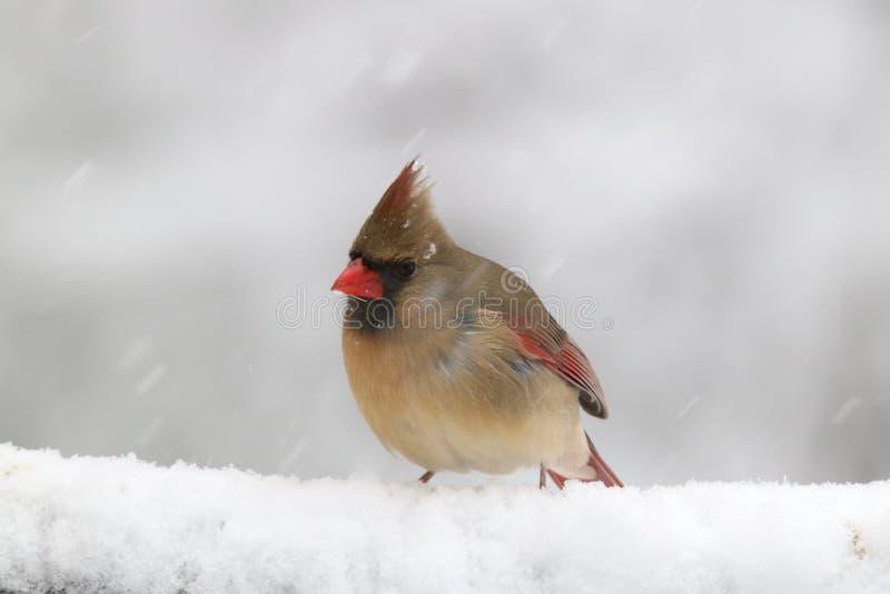 Θηλυκός βόρειος καρδινάλιος μια χιονώδη ημέρα στοκ φωτογραφίες