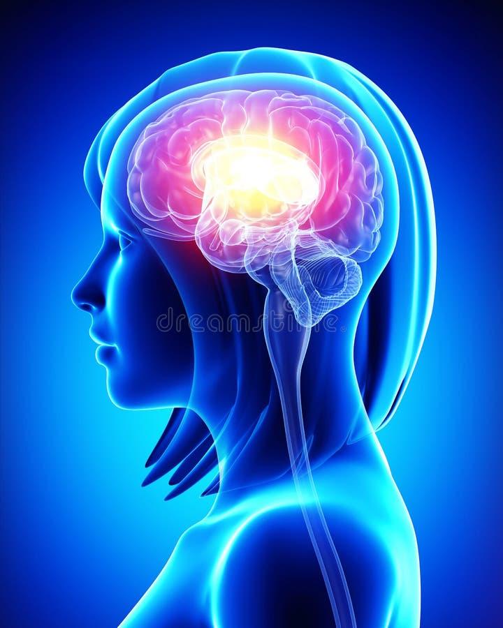 Θηλυκός εγκέφαλος διανυσματική απεικόνιση