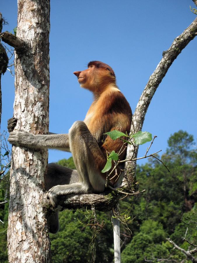 Θηλυκός πίθηκος Proboscis στο εθνικό πάρκο μαλαισιανό Μπόρνεο Bako δέντρων στοκ εικόνα με δικαίωμα ελεύθερης χρήσης