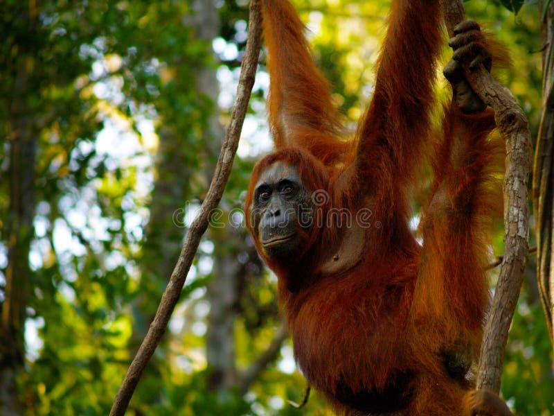 Θηλυκός orangutan στο τροπικό δάσος του Μπόρνεο στοκ εικόνα με δικαίωμα ελεύθερης χρήσης