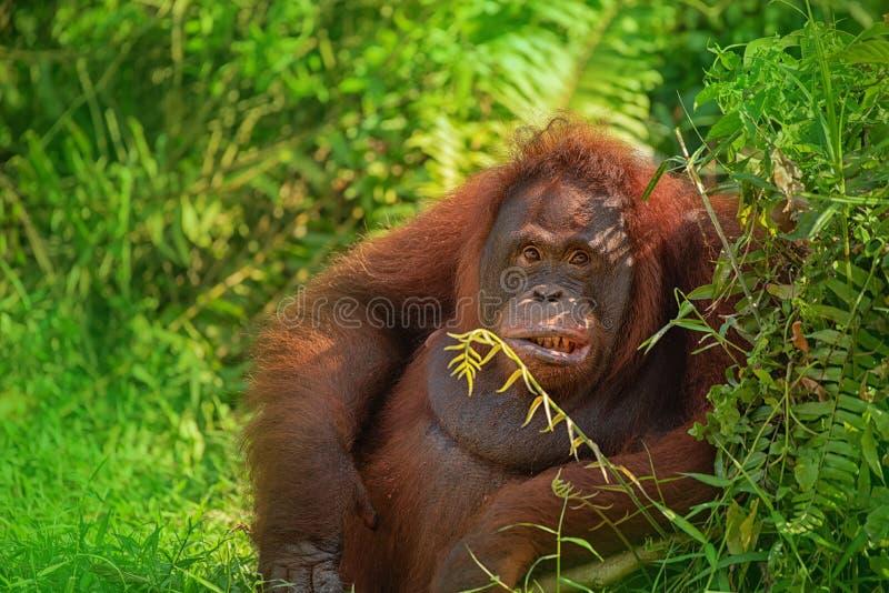 Θηλυκός orangutan orang-utan - Μπόρνεο στοκ εικόνες
