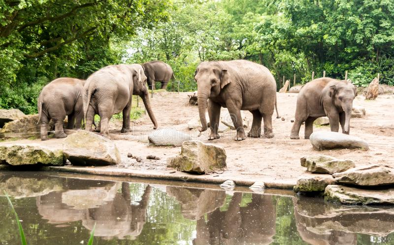 Θηλυκό ασιατικό maximus Elephas ελεφάντων με τα subadults κοντά στη λίμνη στοκ φωτογραφία