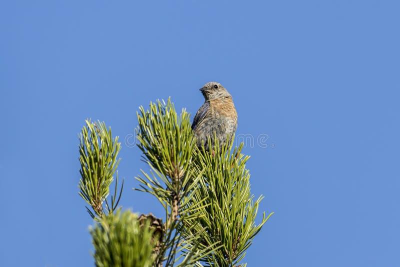 Θηλυκό δυτικό Bluebird σε ένα δέντρο στοκ εικόνα