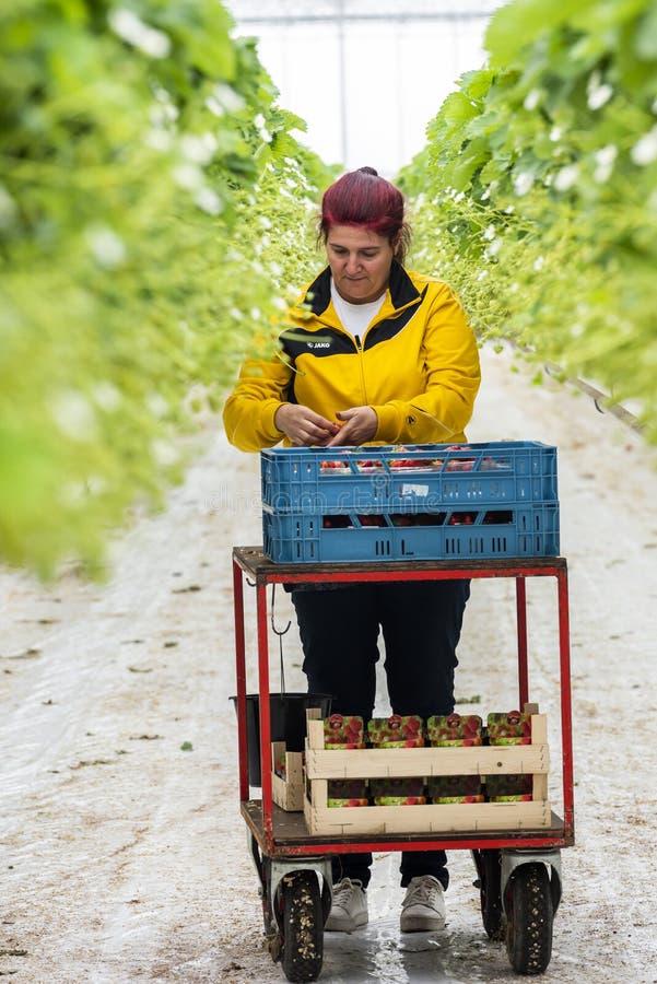 Θηλυκό εργαζομένων στο θερμοκήπιο Ολλανδία στοκ εικόνες
