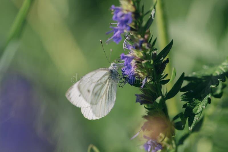 Θηλυκό ευρωπαϊκό μεγάλο λάχανο και άσπρο να ταΐσει πεταλούδων με ένα λουλούδι στοκ εικόνες