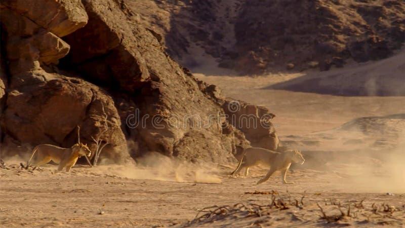 Θηλυκό λιοντάρι που τρέχει στο αφρικανικό bushveld, έρημος Namib, Ναμίμπια στοκ εικόνα με δικαίωμα ελεύθερης χρήσης