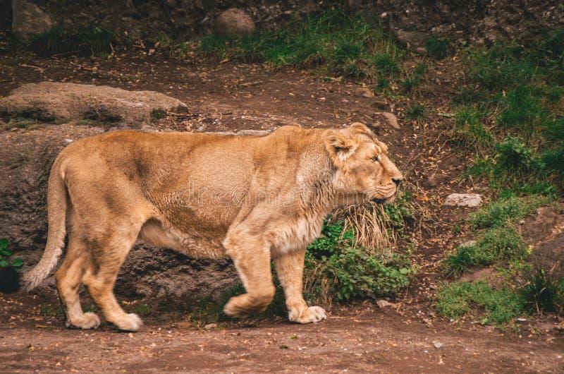 Θηλυκό λιοντάρι σε έναν ζωολογικό κήπο στοκ φωτογραφίες με δικαίωμα ελεύθερης χρήσης