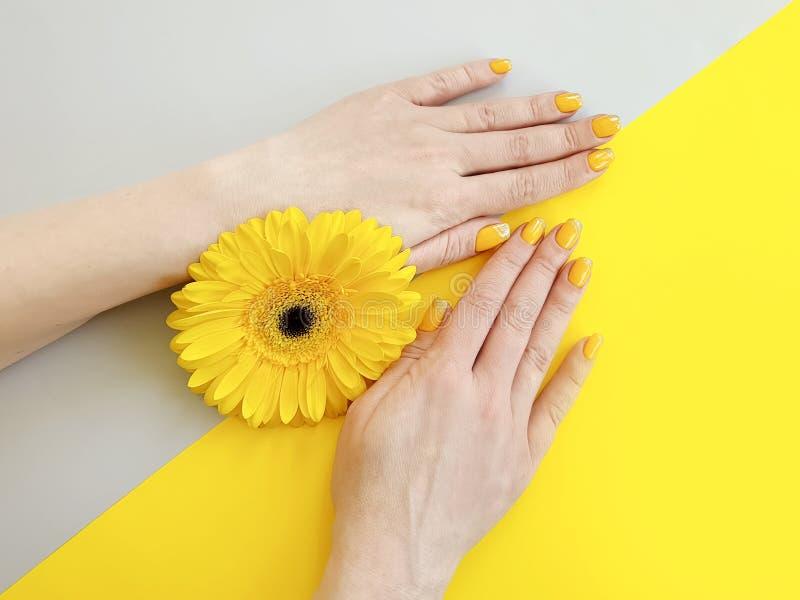 Θηλυκό μανικιούρ χεριών, όμορφο λουλούδι gerbera σε ένα χρωματισμένο υπόβαθρο στοκ φωτογραφίες με δικαίωμα ελεύθερης χρήσης