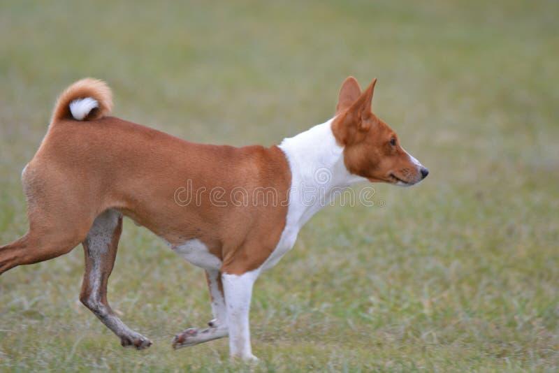 Θηλυκό σκυλί Basenji που κυλά τον τομέα στοκ εικόνες