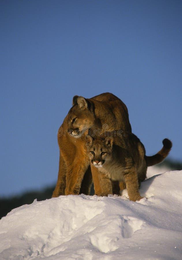 θηλυκό το βουνό λιονταρ&io στοκ εικόνες