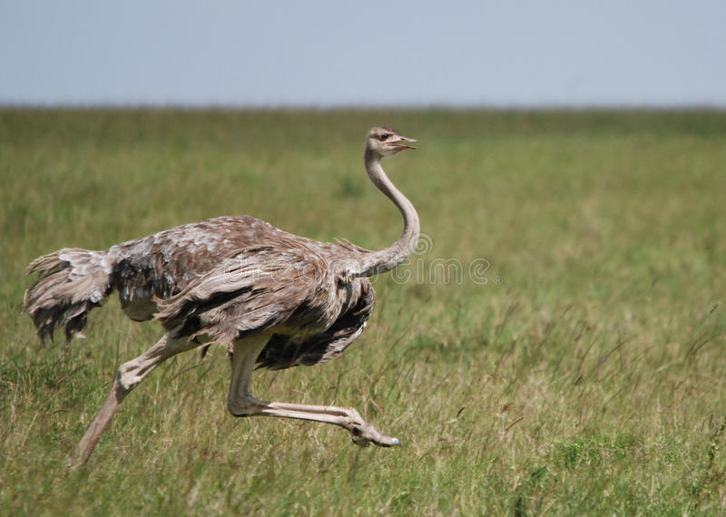 θηλυκό τρέξιμο στρουθο&kappa στοκ εικόνες με δικαίωμα ελεύθερης χρήσης