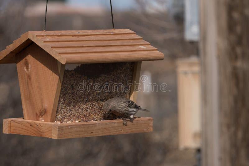Θηλυκό Finch σπιτιών που έχει γεύμα στο νοτιοδυτικό Νέο Μεξικό στοκ εικόνες