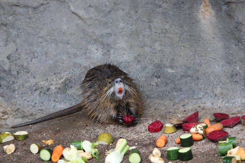 Θηλαστικό που τρώει τα λαχανικά στοκ φωτογραφία με δικαίωμα ελεύθερης χρήσης