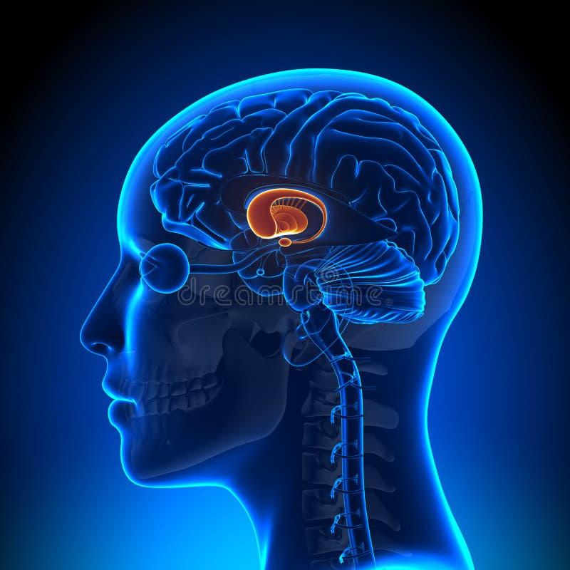 Θηλυκά βασικά γάγγλια - εγκέφαλος ανατομίας διανυσματική απεικόνιση
