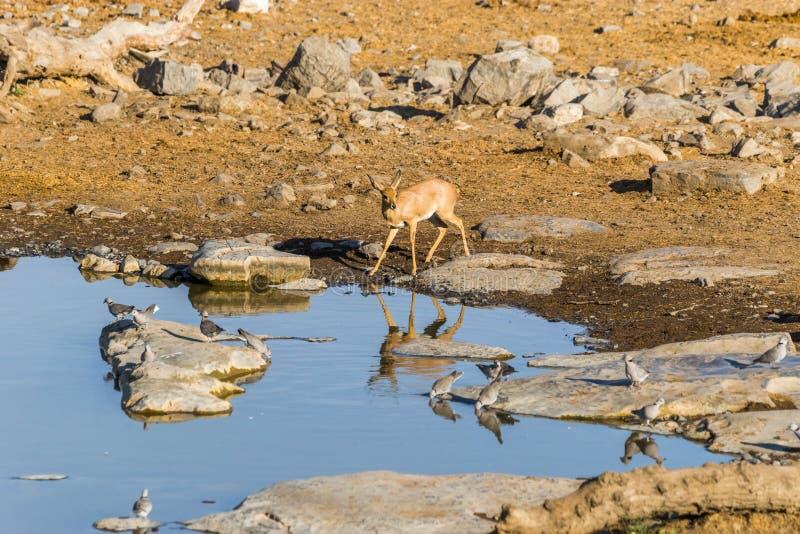 Θηλυκή αντιλόπη steenbok στο waterhole το πρωί στοκ εικόνα με δικαίωμα ελεύθερης χρήσης