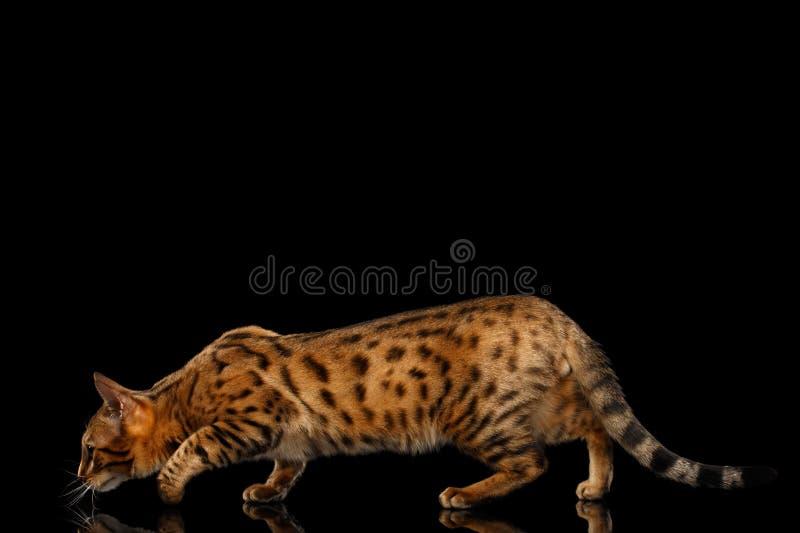 Θηλυκή γάτα της Βεγγάλης κυνηγιών χρυσή που σκύβει στο απομονωμένο μαύρο υπόβαθρο στοκ εικόνες