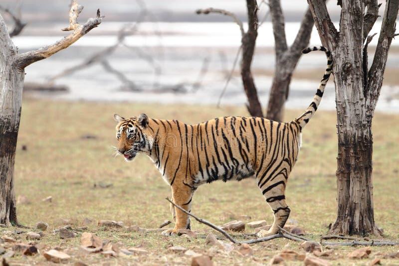 θηλυκή δευτερεύουσα τίγρη σχεδιαγράμματος στοκ εικόνες