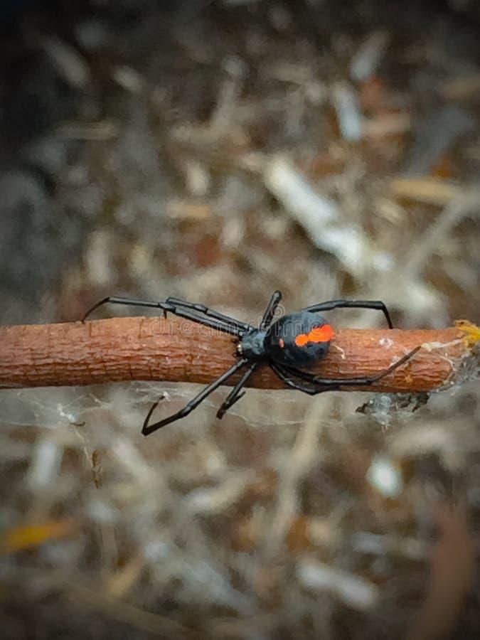 Θηλυκή κόκκινη πίσω αράχνη στοκ εικόνες