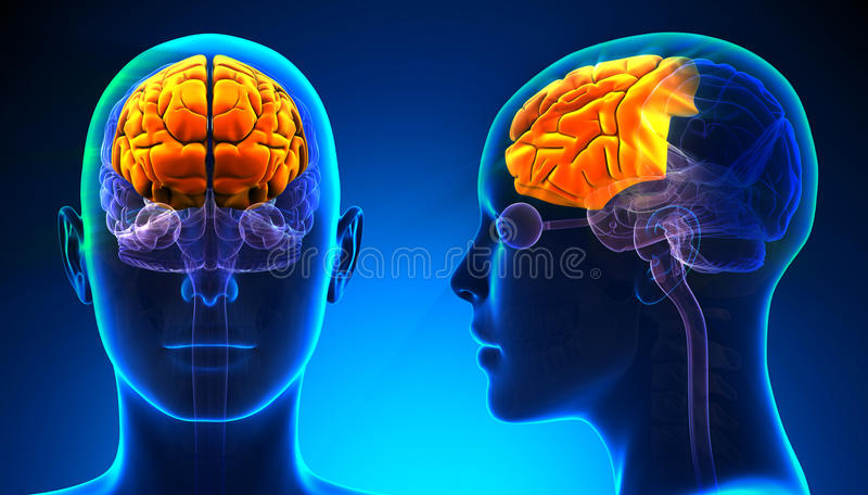 Θηλυκή μετωπική ανατομία εγκεφάλου λοβών - μπλε έννοια απεικόνιση αποθεμάτων