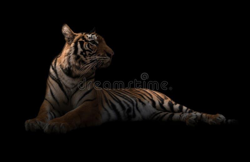 Θηλυκή τίγρη της Βεγγάλης στο σκοτάδι στοκ φωτογραφία με δικαίωμα ελεύθερης χρήσης