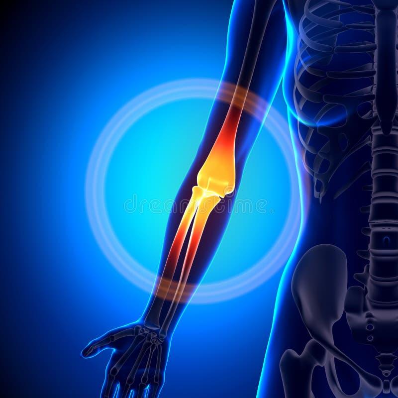 Θηλυκός αγκώνας - κόκκαλα ανατομίας απεικόνιση αποθεμάτων