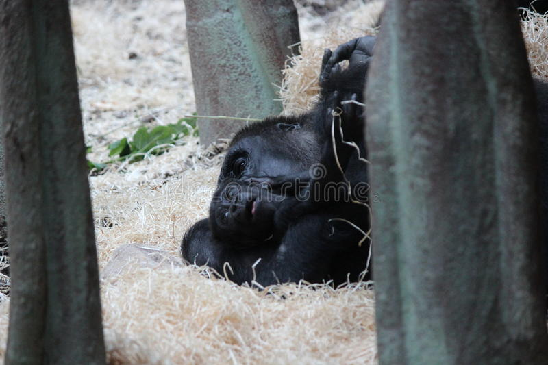 θηλυκός γορίλλας μωρών στοκ εικόνες με δικαίωμα ελεύθερης χρήσης