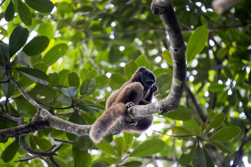 Θηλυκός λευκομέτωπος κερκοπίθηκος, Eulemur albifrons, Masoala εθνικό στοκ φωτογραφίες με δικαίωμα ελεύθερης χρήσης