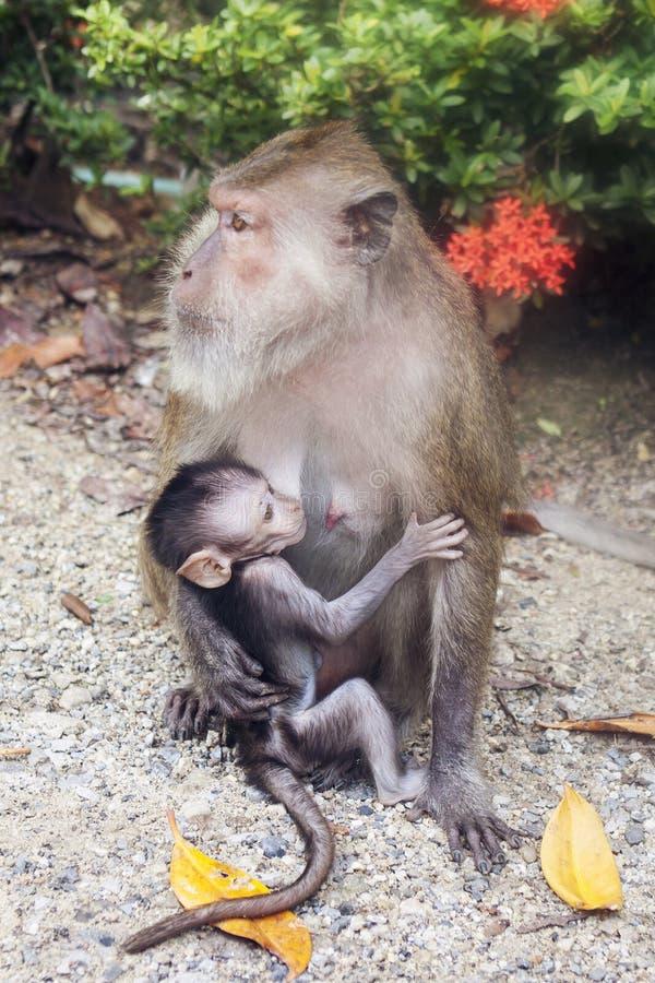 Θηλυκός πίθηκος με το μωρό στοκ φωτογραφίες