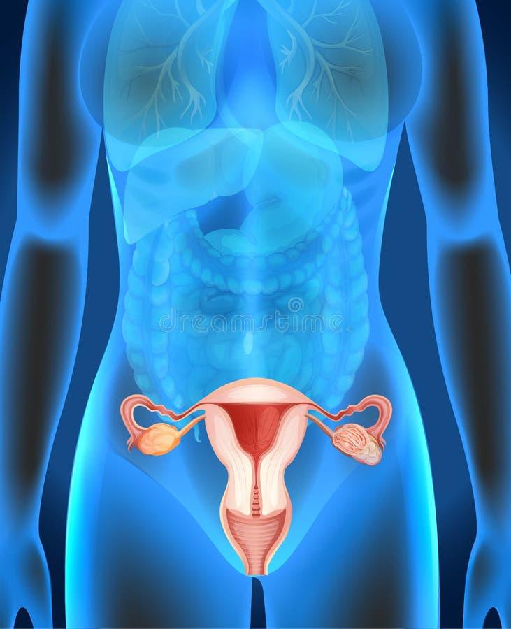 Θηλυκό διάγραμμα γεννητικών οργάνων στον άνθρωπο διανυσματική απεικόνιση