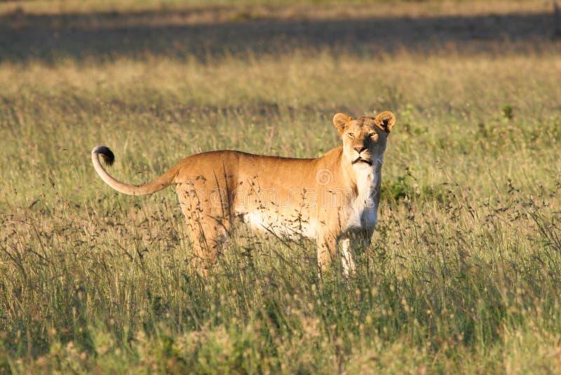Θηλυκό λιοντάρι που στέκεται στη χλόη στοκ φωτογραφίες με δικαίωμα ελεύθερης χρήσης