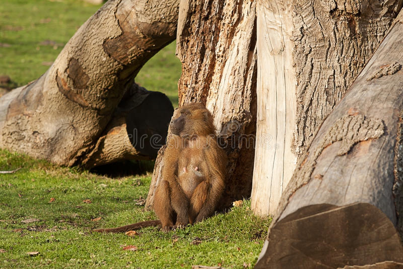 Θηλυκό baboon της Γουινέας στοκ εικόνες
