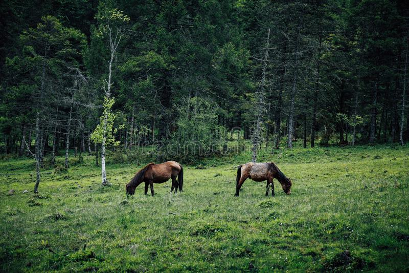 Θιβετιανά άλογα στοκ φωτογραφία με δικαίωμα ελεύθερης χρήσης