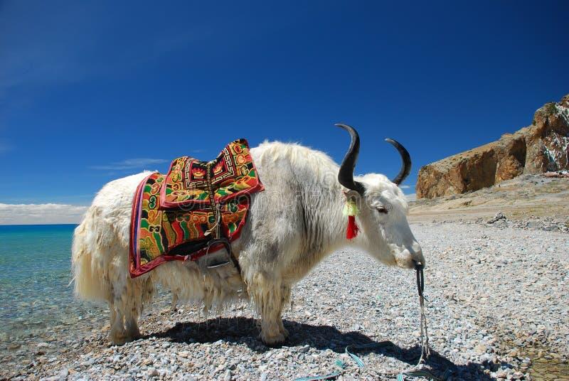 θιβετιανά yak στοκ φωτογραφία με δικαίωμα ελεύθερης χρήσης