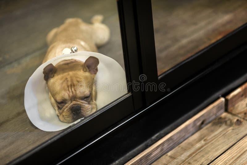 Θλιμμένος νυσταγμένος σκύλος φοράει κώνο κοιτάξτε έξω από το παράθυρο στοκ εικόνες