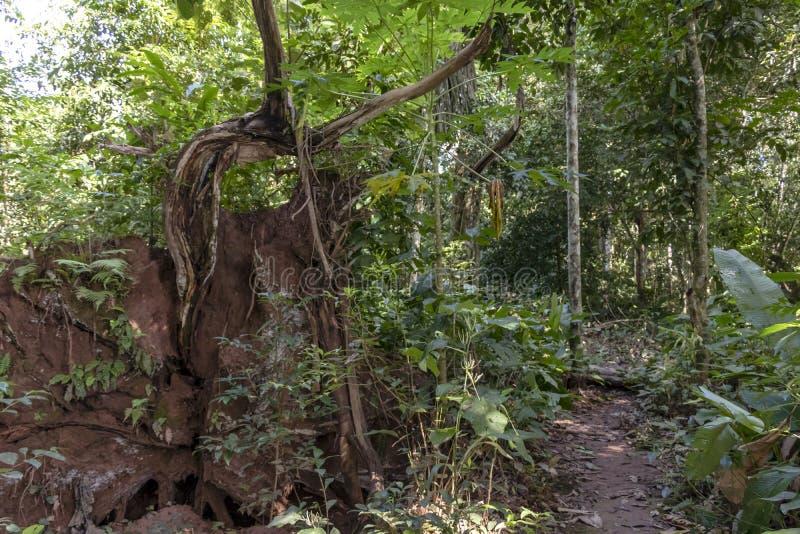 Θολωμένο υπόβαθρο με το αυθεντικό τροπικό δάσος, ζούγκλα της λεκάνης του Αμαζονίου στη Νότια Αμερική στοκ εικόνα