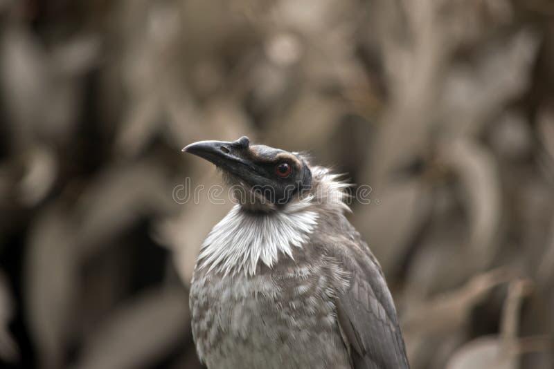 Θορυβώδες friar πουλί στοκ εικόνα