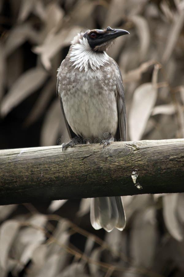 Θορυβώδες friar πουλί στοκ φωτογραφίες