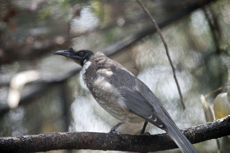Θορυβώδες friar πουλί στοκ φωτογραφίες με δικαίωμα ελεύθερης χρήσης