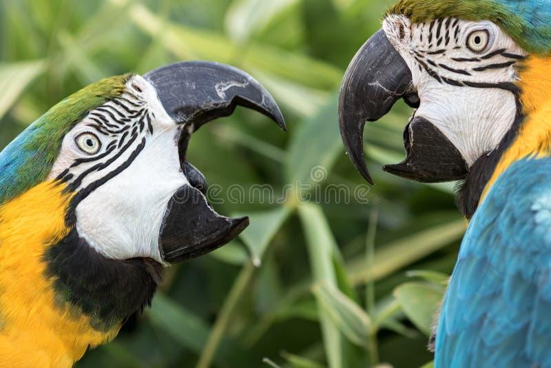 Θορυβώδης γείτονας Εσωτερική λογομαχία δύο γειτόνων μπλε-και-χρυσού macaw στοκ φωτογραφίες