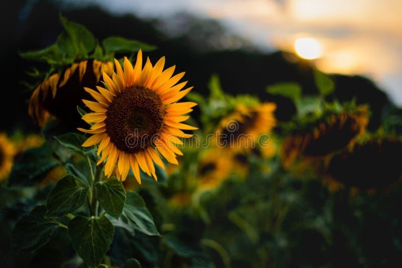 Θορυβώδης φωτογραφία τέχνης του ηλίανθου στο ηλιοβασίλεμα στοκ εικόνα