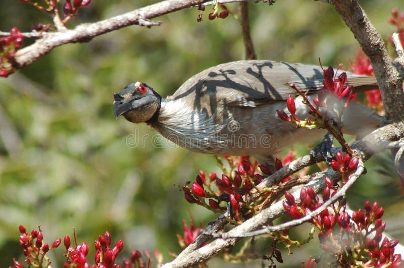 Θορυβώδες friar-πουλί στοκ εικόνα με δικαίωμα ελεύθερης χρήσης