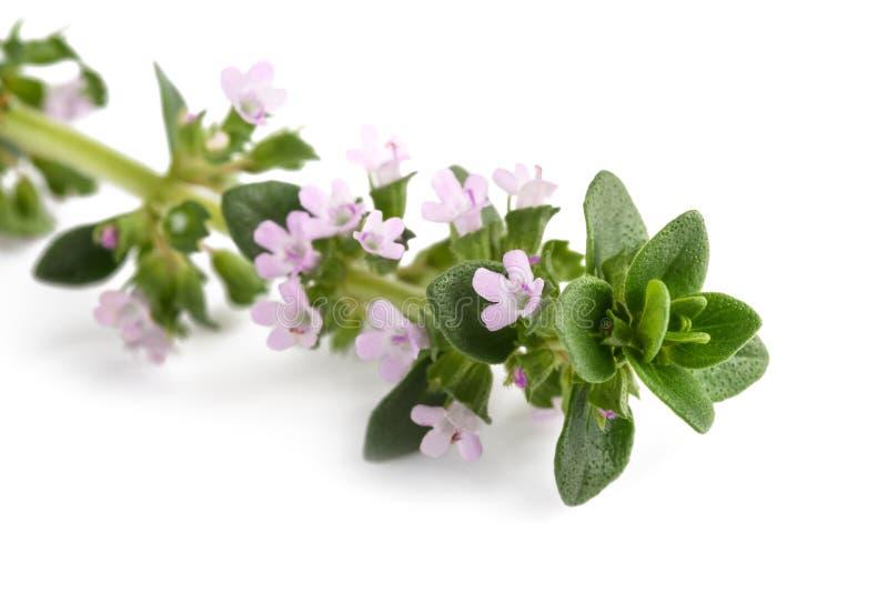 Θυμάρι με τα λουλούδια στοκ φωτογραφίες με δικαίωμα ελεύθερης χρήσης