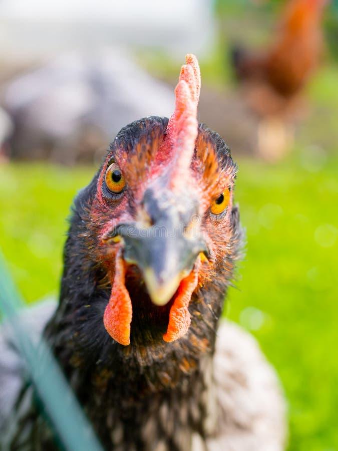 Θυμωμένο πορτρέτο κοτόπουλου στοκ εικόνες
